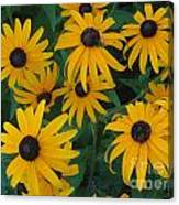Brown Eyed Susans Canvas Print