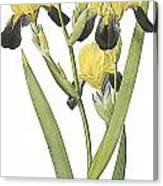 Brown-flowered Iris Canvas Print