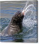 Brown Fur Seal Throwing A Fish Head Canvas Print