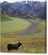 Brown Grizzly Bear In Denali National Canvas Print