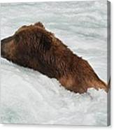 Brown Grizzly Bear Swimming  Canvas Print