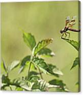 Brown Hawker Dragonfly Canvas Print