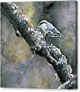 Brown-headed Nuthatch Canvas Print