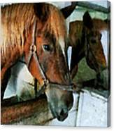 Brown Horse In Stall Canvas Print