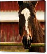 Brown Horse With Red Barn Background Canvas Print