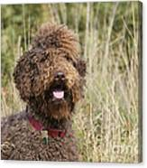 Brown Labradoodle In Field Canvas Print