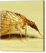 Brown Lacewing Fly Canvas Print