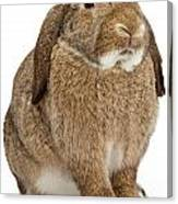 Brown Lop-earred Rabbit Isolated On White Canvas Print