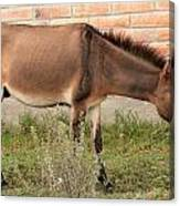 Brown Mule In Cotacachi Canvas Print
