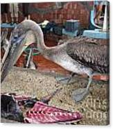 Brown Pelican At The Fish Market Canvas Print