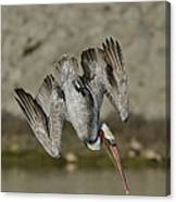 Brown Pelican Diving Canvas Print