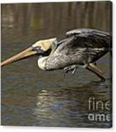Brown Pelican Fishing Photo Canvas Print