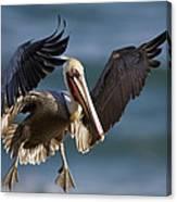 Brown Pelican Flying California Canvas Print