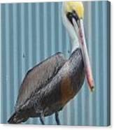 Brown Pelican II Canvas Print