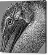 Brown Pelican In Black And White Canvas Print