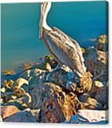 Brown Pelican In San Carlos-sonora Canvas Print