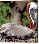 Brown Pelican Incubating Eggs Canvas Print