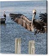 Brown Pelican Touchdown Canvas Print