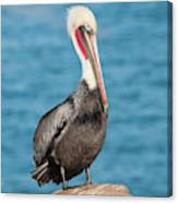 Brown Pelican Pelecanus Occidentalis Canvas Print