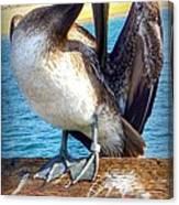 Brown Pelican Preen  Canvas Print