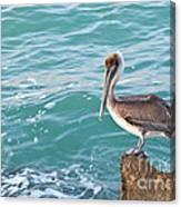 Brown Pelican South Jetty Venice Florida Canvas Print