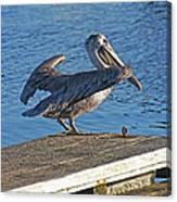 Brown Pelican Takes Flight Canvas Print