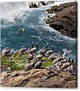 Brown Pelicans And Gulls On The Reef Canvas Print