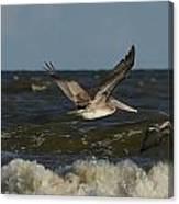 Brown Pelicans In Flight Canvas Print