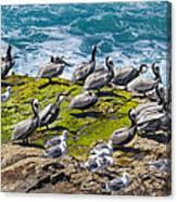 Brown Pelicans Canvas Print