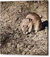 Brown Rat Canvas Print