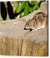 Brown Rat On Log Canvas Print