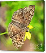 Brown Skipper Butterfly Square Canvas Print
