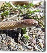 Brown Snake Canvas Print
