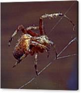 Brown Spider Canvas Print