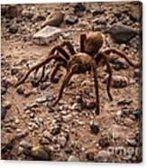 Brown Tarantula Canvas Print