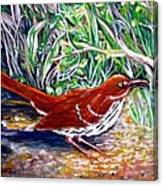 Brown Thrasher In Sunlight Canvas Print