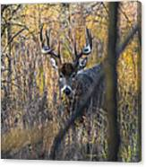 Brush Buck Canvas Print