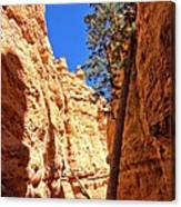Bryce Canyon Trail Tree Canvas Print