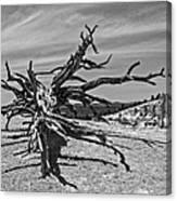 Bryce Canyon Tree Art Canvas Print