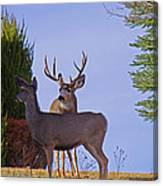 Buck And Doe In Yard Canvas Print