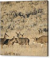 Buck And His Harem Canvas Print