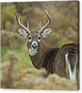 Buck Fever Canvas Print