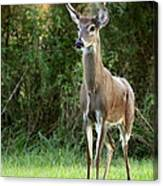 Buck In The Meadow Canvas Print