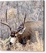 Buck In The Rutt Canvas Print
