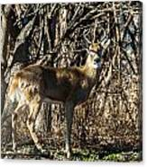 Buck In The Woods Canvas Print