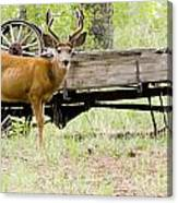 Buck Wagon Canvas Print