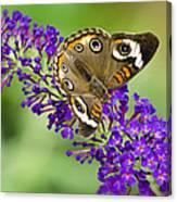 Buckeye Butterfly On Purple Flowers Canvas Print