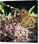 Buckeye Butterfly On Sedum Canvas Print