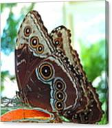 Buckeye Butterfly Canvas Print