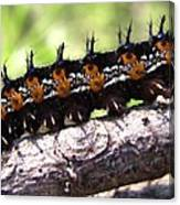 Buckeye Caterpillar 2 Canvas Print